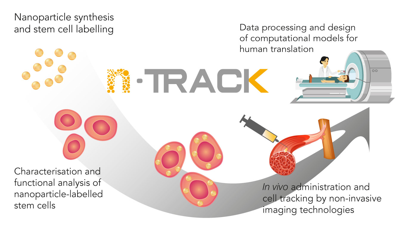 the labelled stem cells will be injected into an injured muscle and tracked  using imaging